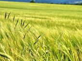 Weed, Stalk Of Oats In Rye Or Barley Field. Green Spikelets Of Oats In The Field, Raw Grains Of Seed poster