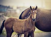 Red Foal Sporting Breed With A Mare. Small Horse. Foal With An Asterisk On A Forehead. poster