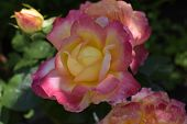 Floribunda, Rose, Noble Rose. Yellow And Orange Rose Plants. A Plant With Colour Changing Roses .mul poster