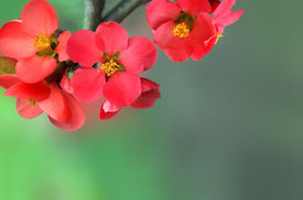 stock photo of cherry blossoms  - Red spring blossoms on a blurred green background - JPG