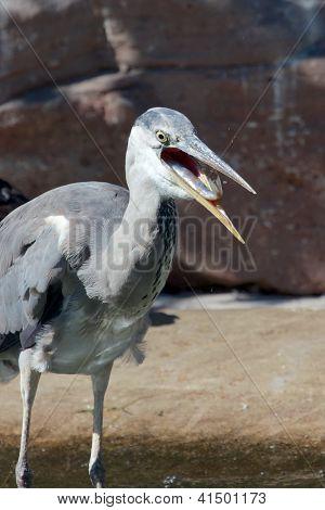 Grey Heron and Fish