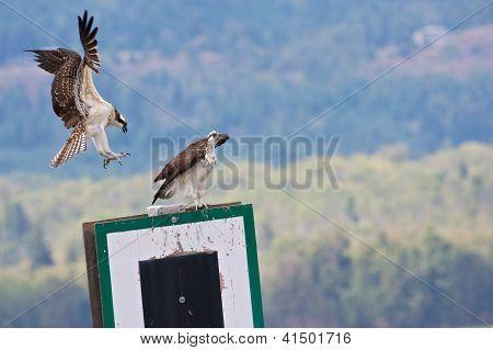 Juvenile Osprey Landing