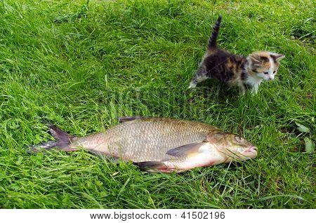 Huge Bream Lake Fish Catch Little Tabby Kitten