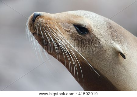 Sea Lion Closeup