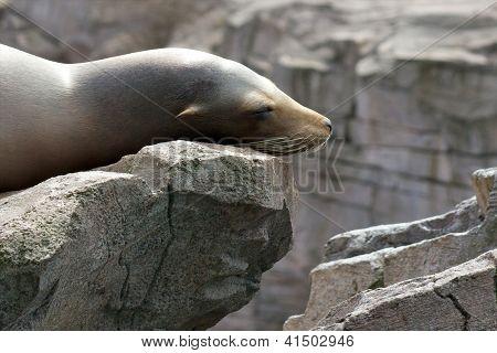 Sea Lion Laziness
