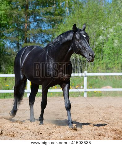 Black stallion of Russian riding breed walks on manege