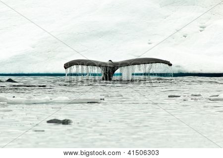 Humpback Whale Tail Fluke Diving In Antartic Water