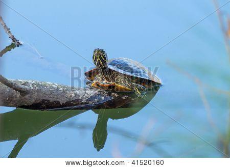 Caixa tartaruga