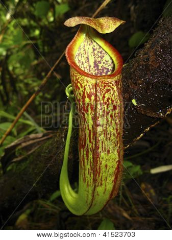 Nepenthes gymnamphora Nees