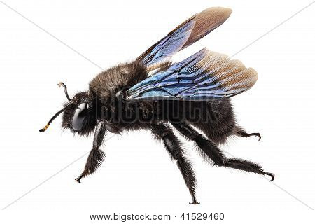 violet carpenter bee species xylocopa violacea