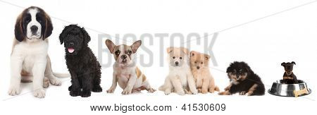 Lineup of 5 Different Breeds of Puppy Dogs on White