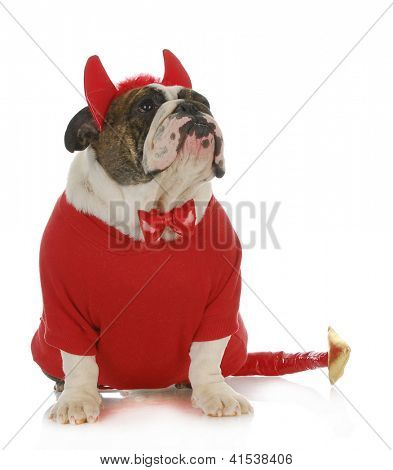 bad dog  - english bulldog dressed up like a devil looking up isolated on white background