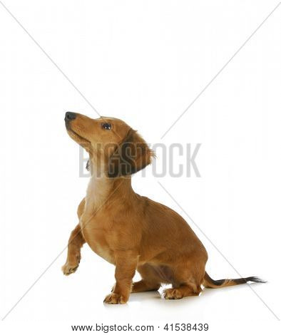 dog begging - long haired dachshund looking up isolated on white background