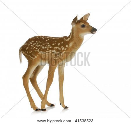 fawn standing isolated on white background