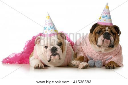 birthday dog - english bulldogs wearing party clothes and birthday hats isolated on white background