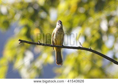 Flavescent Bulbul Pycnonotus flavescens