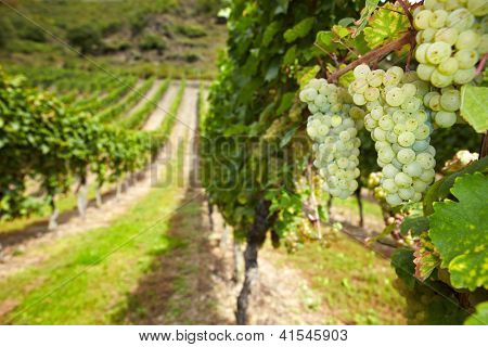 White wine Riesling grapes in German vineyard in autumn