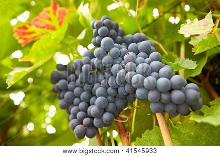 Red vine grapes hanging in vineyard in fall in Germany