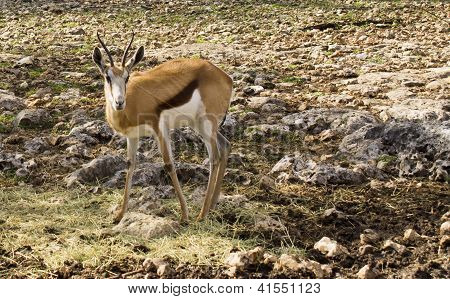 young gazelle looking on in a rocky field