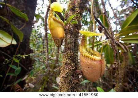 Nepenthes villosa also known as monkey pitcher plant, indigenous to the mountain of Sabah, Mount Kinabalu, Malaysia.