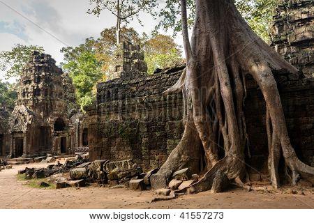 Huge Banyan tree roots entangling Ta Promh temple walls, Angkor, Cambodia