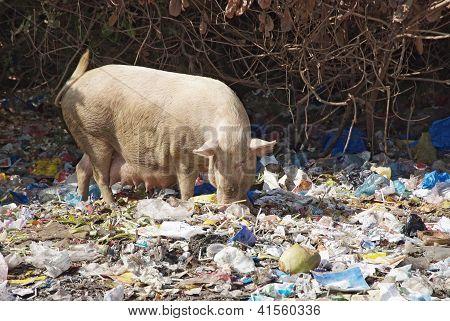 Domestic Pig Feeding In Dumpl In Goa, India