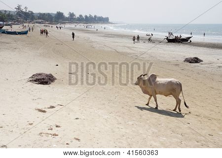 Cow Walking On The Beach In Goa, India