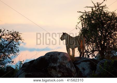 Female lion on rocks at sunset on savanna in Serengeti in Tanzania, Africa