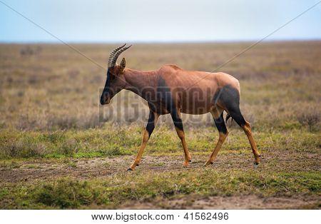 Topi, a grassland antelope on savanna in Africa. Safari in Serengeti, Tanzania