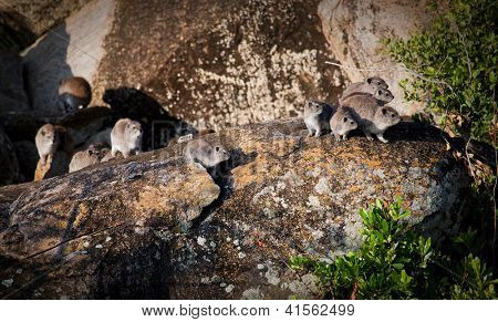 Rock hyrax herd on safari in Serengeti, Tanzania, Africa.