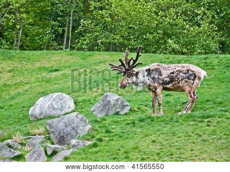 Large Reindeer Molting In Summer Pasture