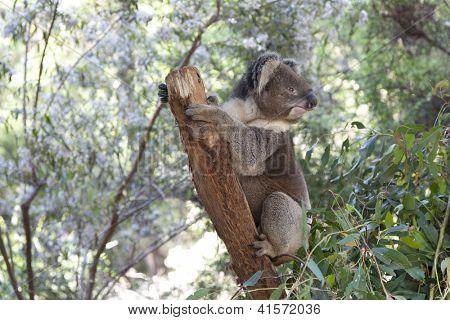 Koala on a tree trunk in Queensland, Australia