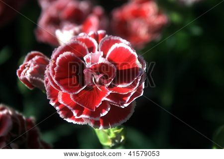 Clove red and white