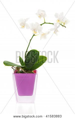 Miniature White Orchid Arrangement Centerpiece In Vase Isolated On White Background