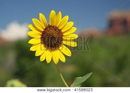 Sunflower - Sedona, Arizona