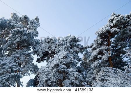The Tops Of The Pine Trees Covered With Snow