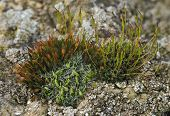 Mosses on Cotswold limestone wall