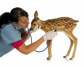 pic of bambi  - wildlife veterinary care  - JPG