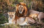 stock photo of leo  - Male lion and female lion  - JPG