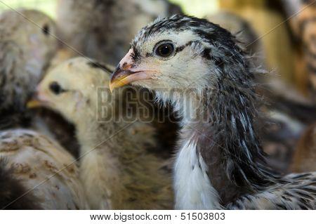 Baby Americana Chick