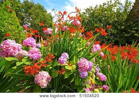 Crocosmia 'lucifer' And Pink Hydrangeas