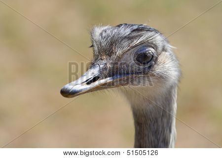 Ostrich head shot