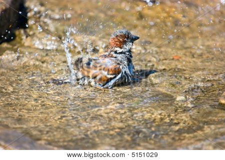 Sparrow In Water