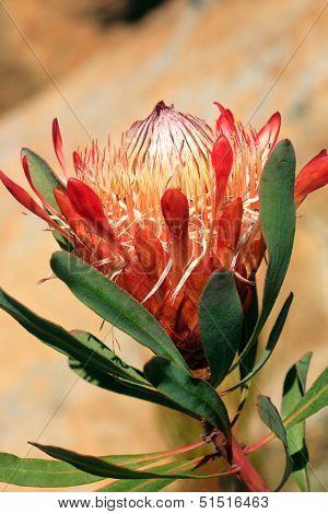Pretty Protea Flower