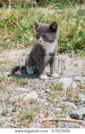 Small White-gray Cat