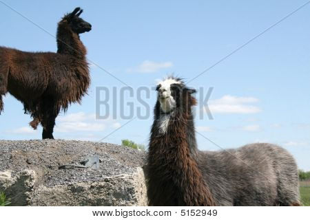 Llamas Eyeing Each Other