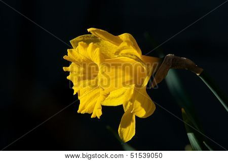 Daffodil (Narcissus Pseudonarcissus) Or Lent Lily
