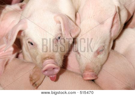 Two Little Funny Pigs