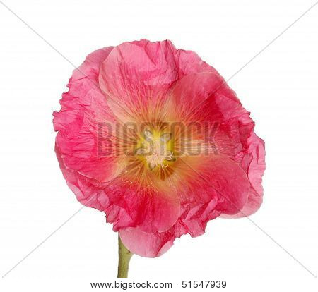 Isolated Pink Flower Of A Hollyhock