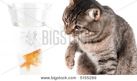 Playing Cat And Gold Fish